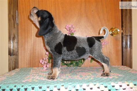 bluetick coonhound  sale    augusta