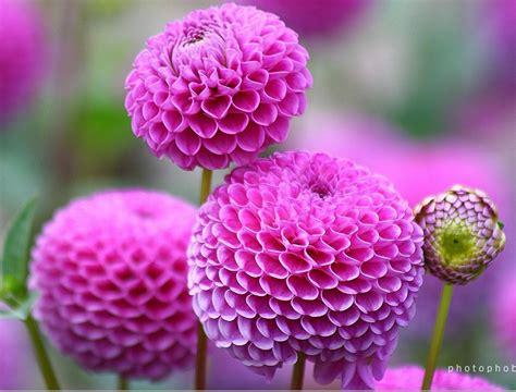 imagenes de rosas maravillosas maravillosas im 225 genes de flores naturales hermosas fotos