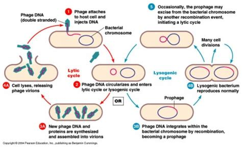 lytic cycle diagram bacteriophage lytic and lysogenic cycle biology exams 4 u