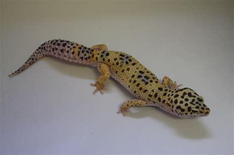 leoparden deko leopard geckos for sale west coast leopard gecko