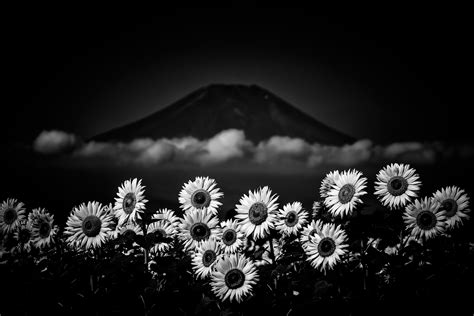 imagenes blanco y negro full hd girasol full hd fondo de pantalla and fondo de escritorio