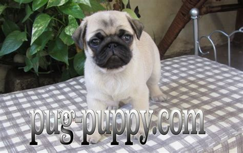 pug breeders in massachusetts pug puppy breeder of boston ma pug breeder in saugus massachusetts
