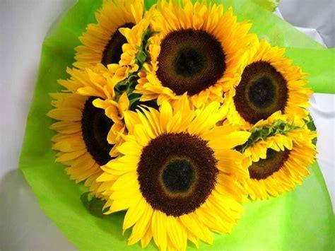 fiori di girasole girasoli significato significato fiori girasoli
