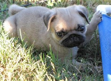 what country do pugs come from currentpuppiesforsale