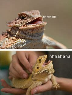 Laughing Lizard Meme