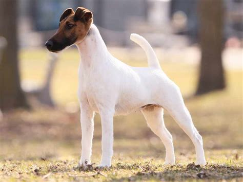 smooth fox terrier puppies fox terrier smooth fox terrier breed standards