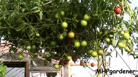 tomato tree tomato tree or apple tree you make the call youtube