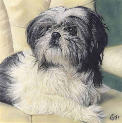shih tzu northern ireland portraits portfolio colbert northern ireland artist and illustrator