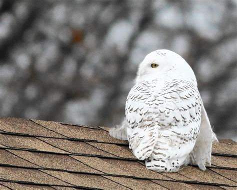 amazoncom snowy owl snowy owl sightings on the rise especially along great lakes shorelines it s the stuff of