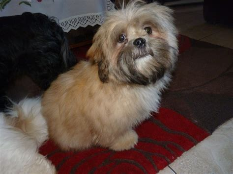 lhasa apso puppy lhasa apso puppies for sale gloucester gloucestershire pets4homes