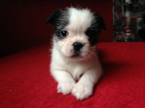 bulldog cross shih tzu bulldog shih tzu mix