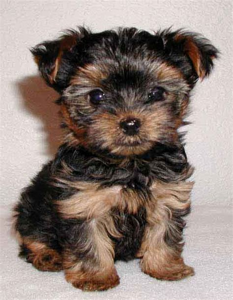 buying a yorkie puppy terriers clothing products news and tips