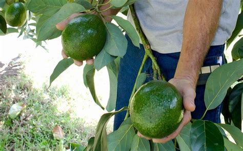 Hilo Avocado Local Avocados Headed To Mainland After 1992 Ban On