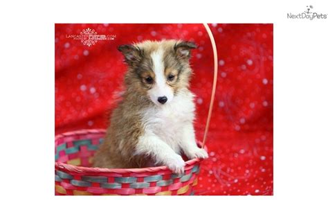 sheltie pomeranian mix puppies sale meet benji a mixed other puppy for sale for 425 benji adorable sheltie