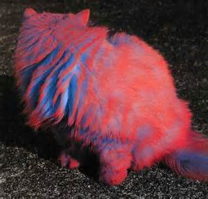 colored fur blue cat colored colors fur image 51924 on