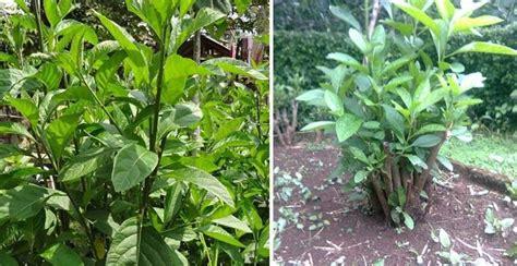 Daun Afrika Daun Obat 13 manfaat daun afrika bagi kesehatan manfaat co id