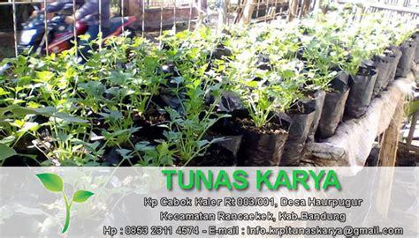 Bibit Cabe Tanjung jual bibit sayuran murah jual bibit sayuran murah sumedang
