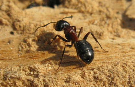 carpenter ants dr bug southern ontario pest