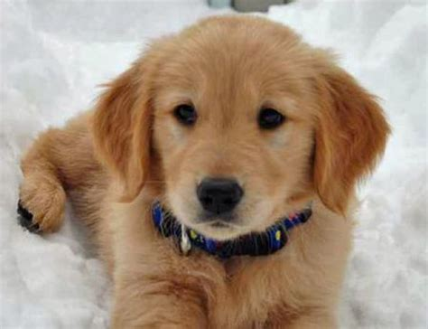 golden retriever dogs for rehoming golden retriever puppy for rehoming 1 pictures of puppies litle pups