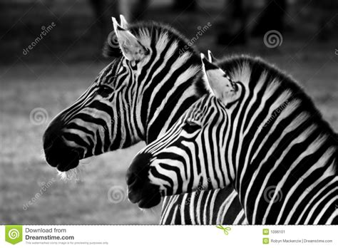 imagenes de cebras en blanco y negro gestreepte twee zwart wit stock afbeelding afbeelding
