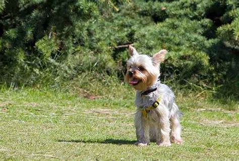 how to potty your yorkie how to potty a yorkie is it really as as say