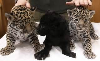 How Many Babies Does A Jaguar Melanistic Jaguar Baby Www Imgkid The Image Kid