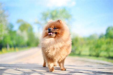 Pomeranians Shed by Do Pomeranians Shed Canna Pet 174
