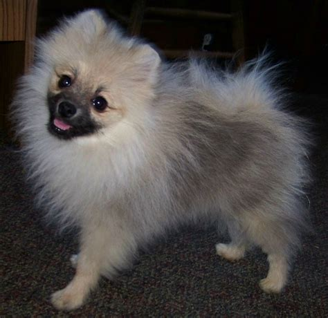 wolf pomeranian wolf pomeranian for sale breeds picture