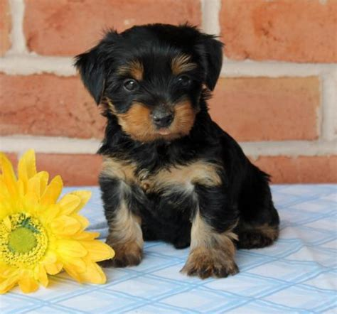 yorkie puppies for sale on craigslist yorkie puppies for sale in nc craigslist