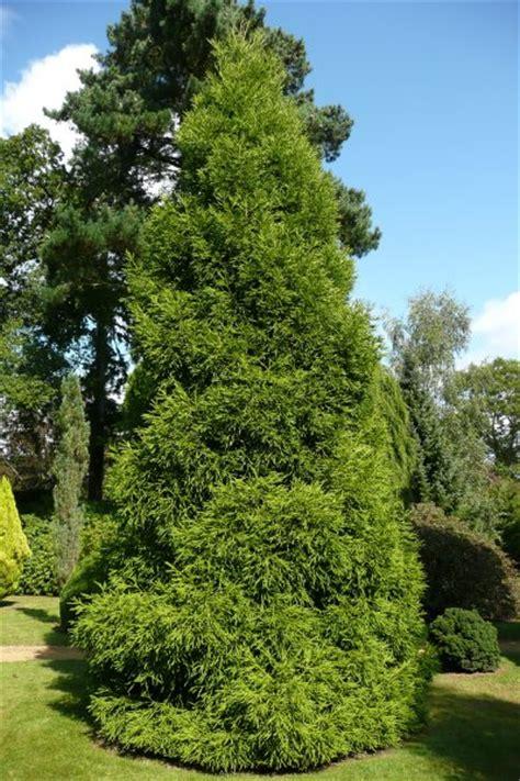 Types Of Soil For Gardening - cryptomeria japonica spiralis plants oak leaf gardening