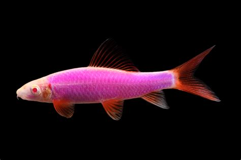 orange shark glofish 174 images