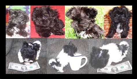 kansas havanese havanese havanese puppies for sale mini havanese for sale teenie tiny purse size