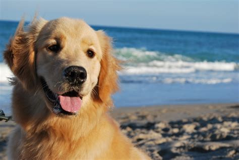 golden retriever stages how to keep your golden retriever healthy in every stage of the trupanion