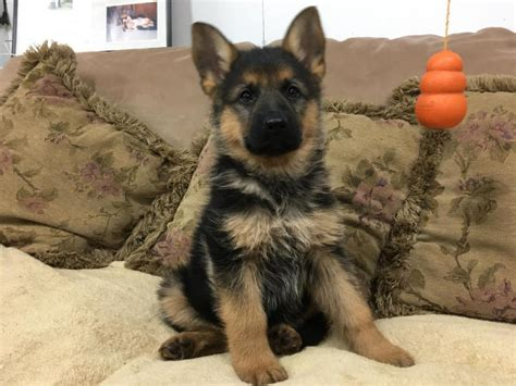 german shepherd puppies for sale in vermont heidi german shepherd puppies for sale in pa