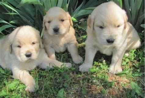 golden retriever puppies for sale in sydney golden retriever puppies for sale