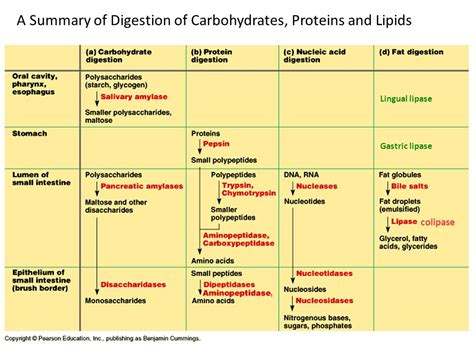 carbohydrates and lipids nutrient digestion site of absorption carbohydrates ppt