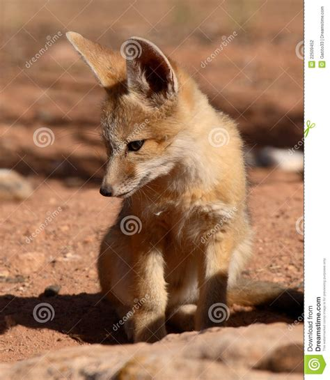 fox looking kit fox puppy looking stock photography image 22509452