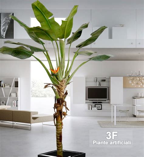 pianta di banano in vaso banano paradise palma altezza cm 260 216 vaso cm 30
