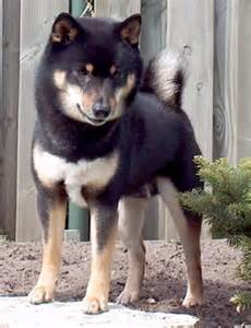 tri color shiba inu kelpie cross husky mans best friend