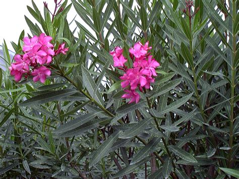 oleander plant travels with my 187 toxic plants for dogs