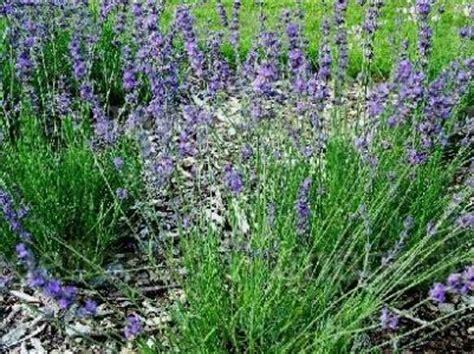 diversi sinonimi lavanda angustifolia var mailette piante da talea