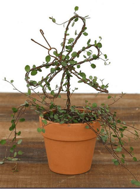 1 lb rustica angel vine topiary organic vine topiary plants