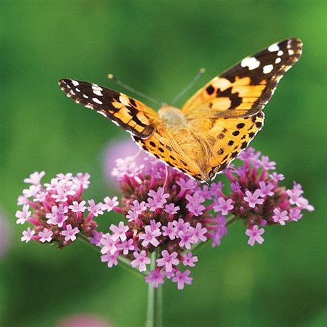 Flowers For A Butterfly Garden Butterfly Bush And Other Top Plants For Your Butterfly Garden