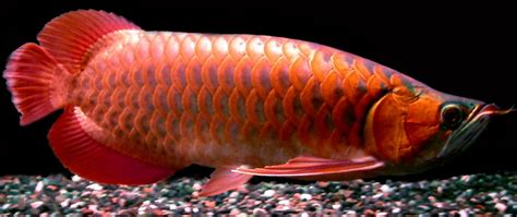 Arwana Golden ornamental fish aquarium cattle arowana fish