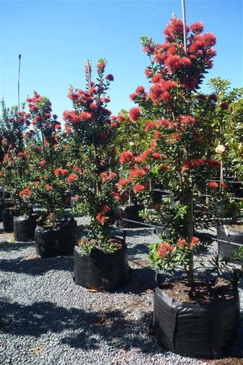 pohutukawa trees for sale auckland beatiful tree