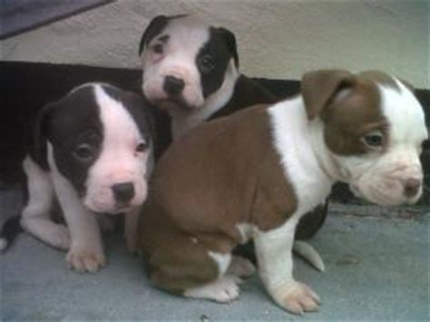 yellow pitbull puppies for sale cape town south africa ads for pets animals gt dogs puppies free classifieds