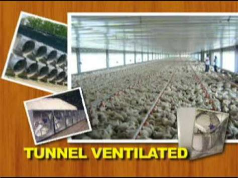 House Design Pictures In The Philippines by Tunnel Ventilated Bldg Vs Conventional Broiler Housing