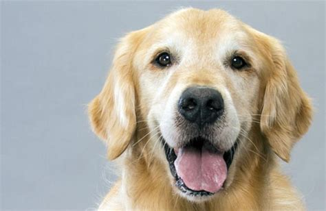 golden retriever buy buy golden retriever miami dogs our friends photo