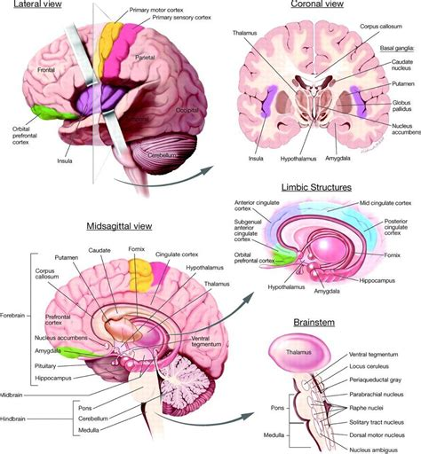 brain anatomy diagram time 4 learning anatomy of brain the brain is presented