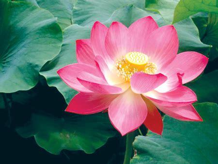most beautiful lotus flower the most beautiful lotus flower in viet nam